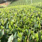 (Ongewenste) veroudering van groene thee