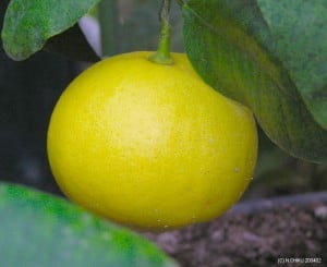 De olie van een Bergamot citroen wordt gebruikt in Earl Gray