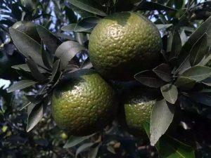 De mandarijn aan de boom