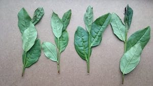 Tie Guan Yin - geplukt blad